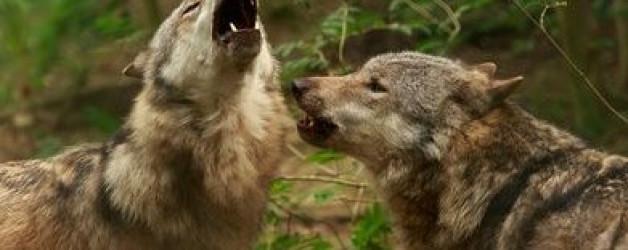 Zwei Wölfe streiten um dein Herz
